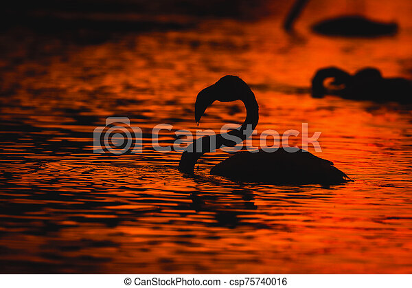 Black silhouettes of flamingos in the water at sunset - csp75740016
