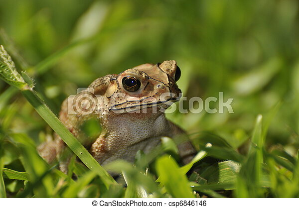 Black Spined Toad in the grass - csp6846146