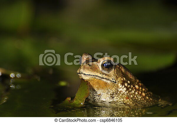 Black Spined Toad in the water - csp6846105