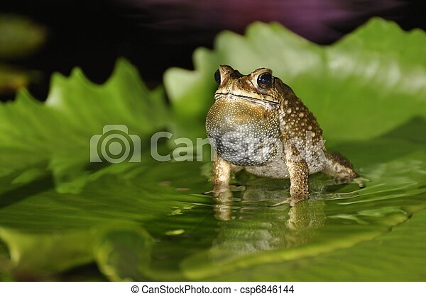 Black Spined Toad singing on a waterlily leaf - csp6846144