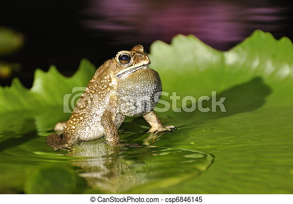Black Spined Toad singing with a purple waterlily reflection - csp6846145