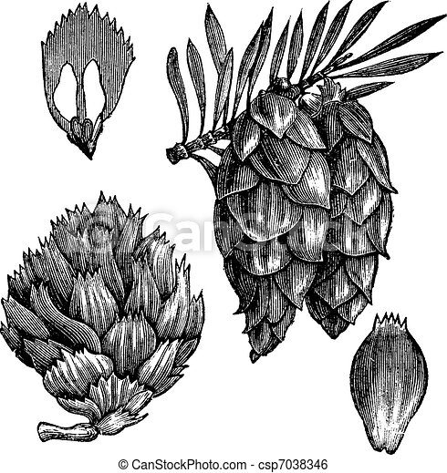 Black Spruce or Picea mariana vintage engraving - csp7038346