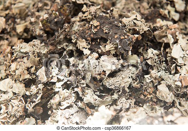 Black stone flower or kalpasi, parmotrema perlatum. it is ... Black Stone Flower