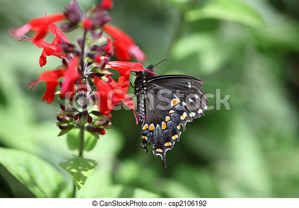 Black Swallowtail Butterfly - csp2106192