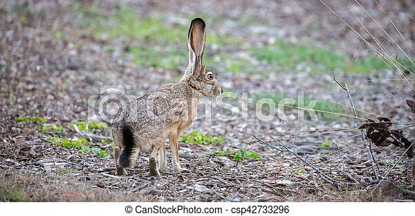 Jack Rabbit Usa >> Black Tailed Jackrabbit Lepus Californicus Side View