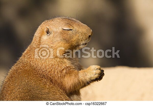 Black-tailed prairie dog with eyes closed - csp16322667