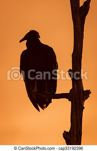 Black Vulture Roosting in a Tree at Sunset - Florida - csp33192396
