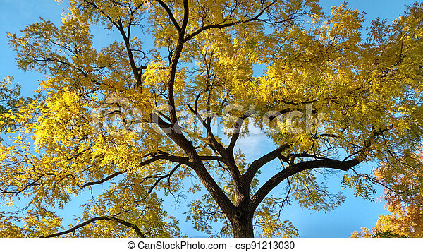 Black Walnut in Fall - csp91213030
