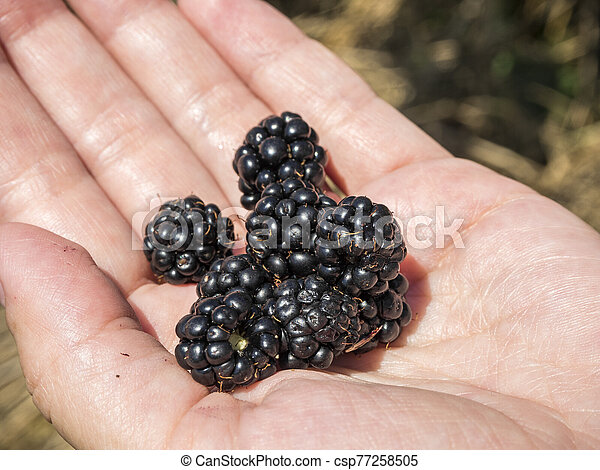 Blackberry in the palm of your hand - csp77258505