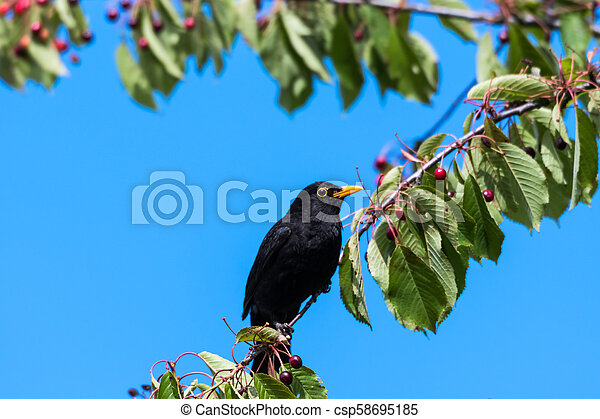 Blackbird in a cherry tree - csp58695185