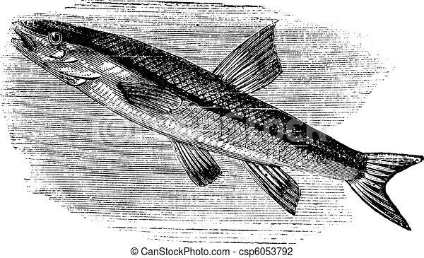 Blacknosed dace, rhinichthys atratulus or argyreus atronasus old engraving. - csp6053792