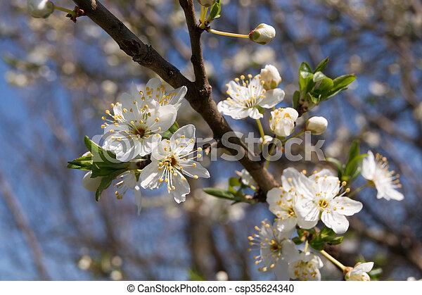 Blackthorn flower buds the first wild plum spring flower buds blackthorn flower buds csp35624340 mightylinksfo
