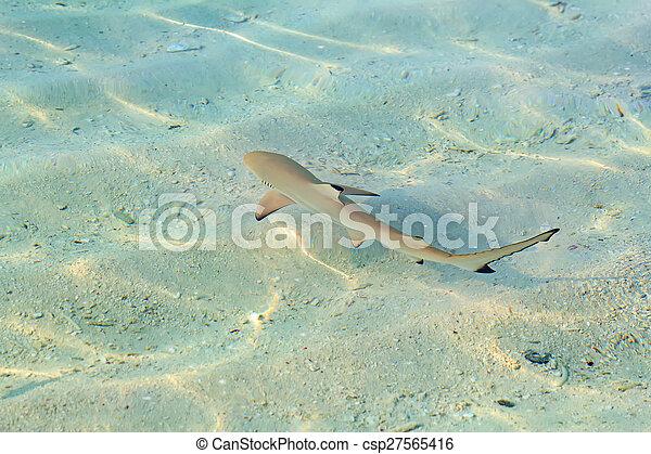 Blacktip reef shark - csp27565416