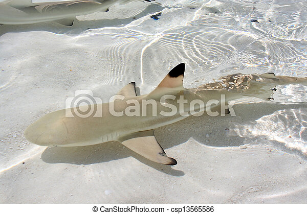 blacktip reef shark - csp13565586