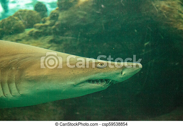 Blacktip shark Carcharhinus limbatus swims - csp59538854