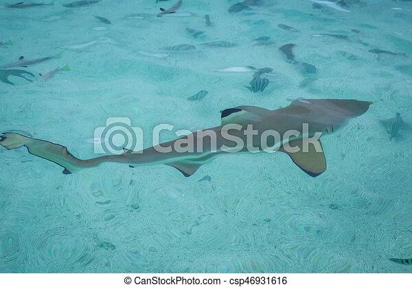 Blacktip shark in moorea island lagoon - csp46931616
