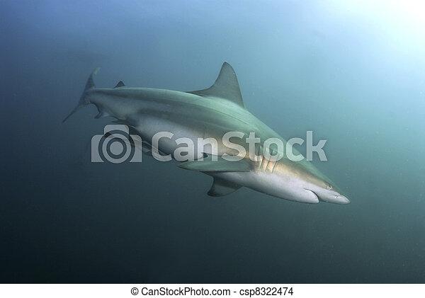 Blacktip shark - csp8322474