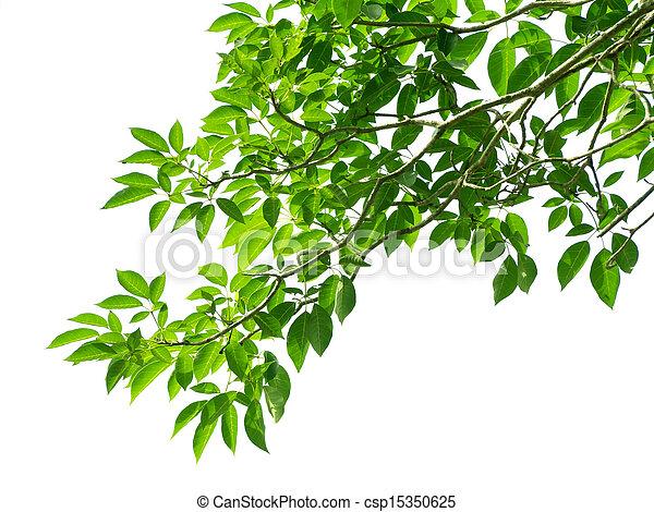 bladen, gröna vita, bakgrund - csp15350625
