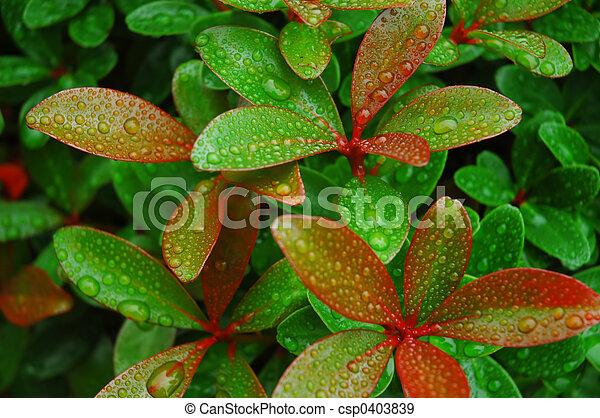 bladeren, afgetopt, rood, regen - csp0403839