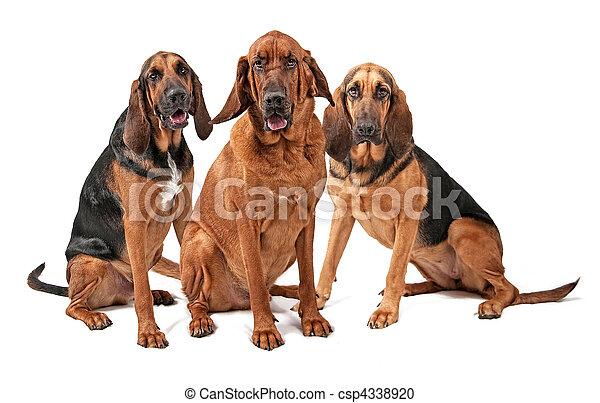 blanc, chiens, limier, isolé, trois - csp4338920
