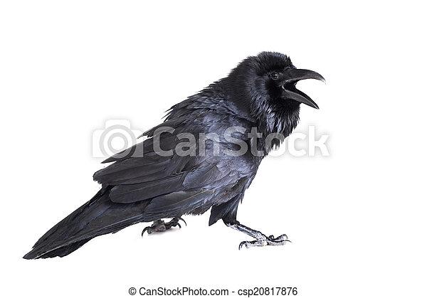 blanc, corbeau, isolé, commun - csp20817876