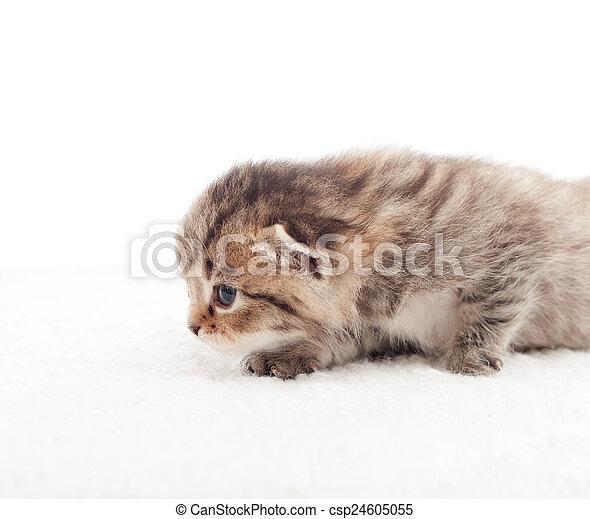 Arrastrando al gatito con un fondo blanco - csp24605055