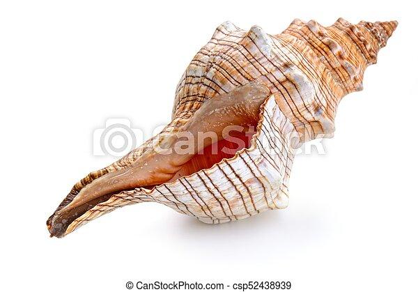 Concha aislada en blanco - csp52438939