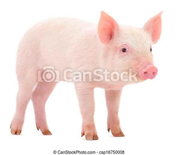 Cerdo sobre blanco - csp16750008