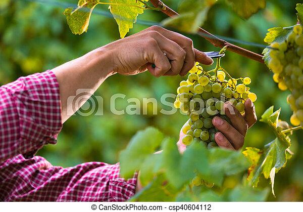 Manos cortando uvas blancas de las vides - csp40604112