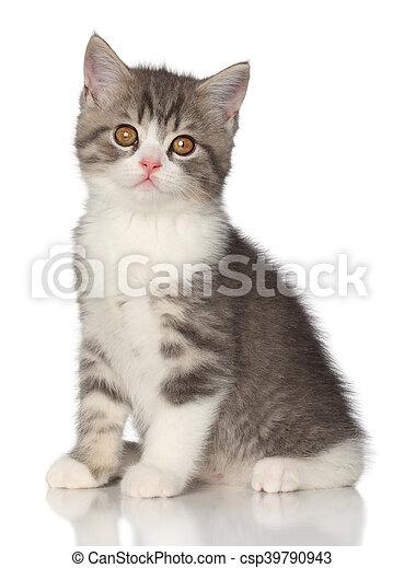 Un gatito escocés en un fondo blanco - csp39790943