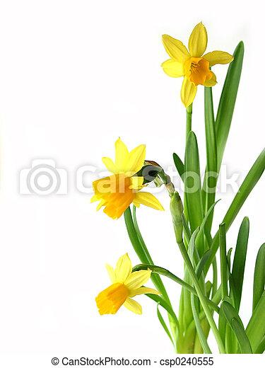 Daffodils en blanco - csp0240555