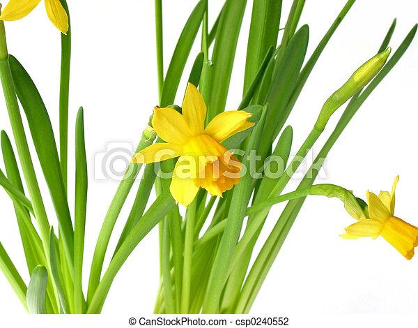 Daffodils en blanco - csp0240552