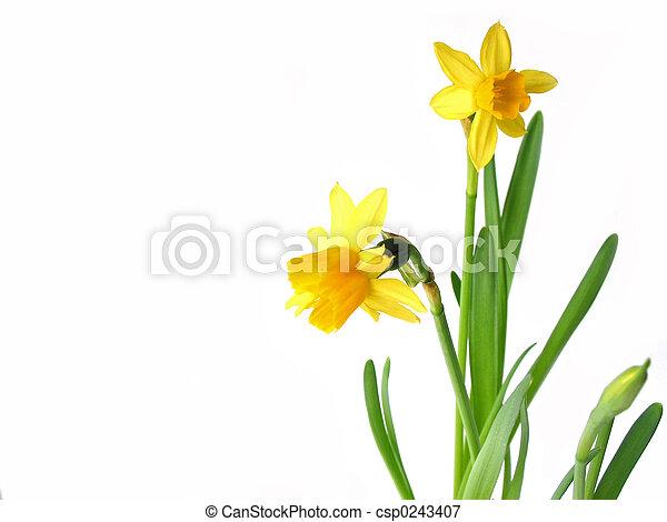 Daffodils en blanco - csp0243407