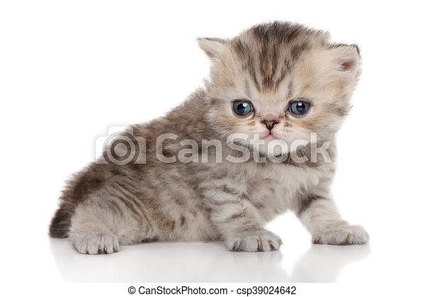 Un gatito persa en un fondo blanco - csp39024642