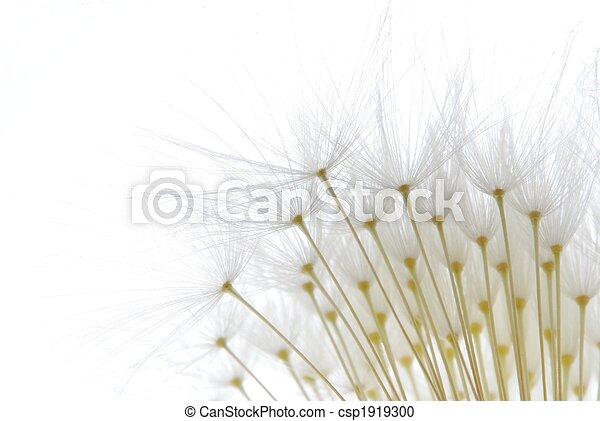 blanco, semillas, suave, diente de león - csp1919300
