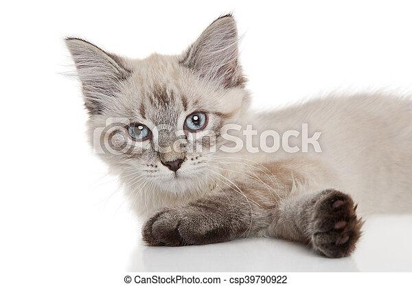 Un gatito siberiano en un fondo blanco - csp39790922