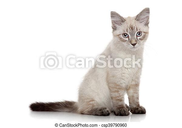 Un gatito siberiano en un fondo blanco - csp39790960
