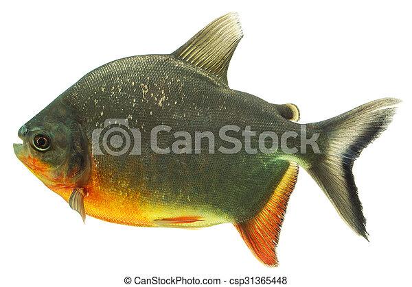 Fotograf a de archivo de blanco tambaqui tiro pez for Pez cachama
