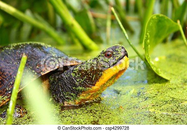 Blandings Turtle (Emydoidea blandin - csp4299728