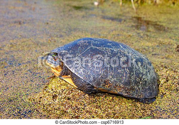 Blandings Turtle (Emydoidea blandingii) - csp6716913