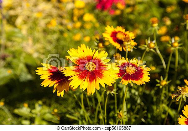 Blanket flower yellow daisy with red center called pictures blanket flower yellow daisy with red center called gaillardia pulchella csp56195887 mightylinksfo