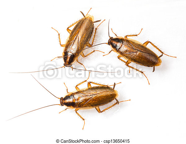 Blattella germanica german cockroach - csp13650415