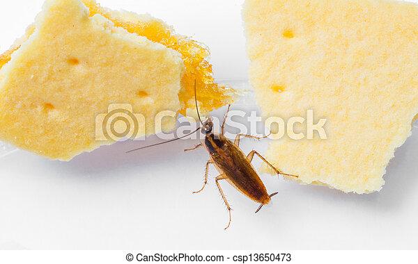 Blattella germanica german cockroach - csp13650473