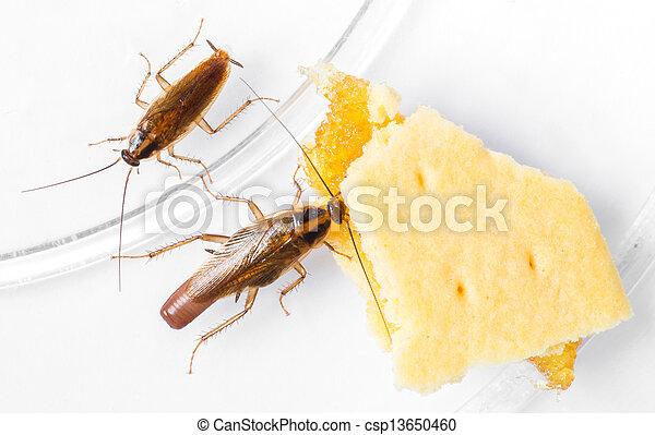 Blattella germanica german cockroach - csp13650460