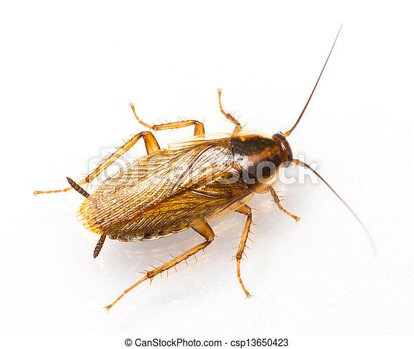 Blattella germanica german cockroach - csp13650423