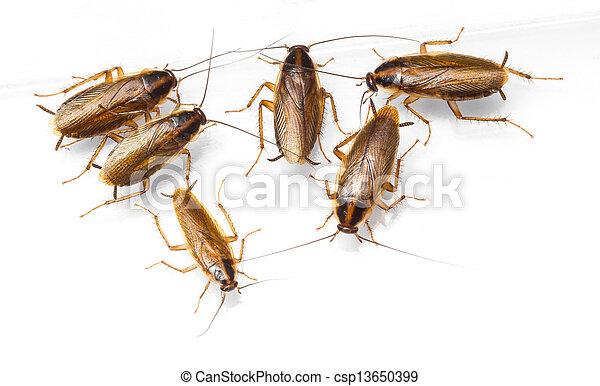 Blattella germanica german cockroach - csp13650399