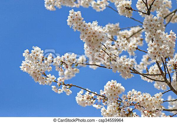 Blaue blüte, kirschen, himmelsgewölbe, japanisches , bäume ...