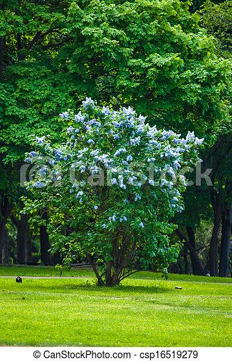 blaues, busch, lila - csp16519279