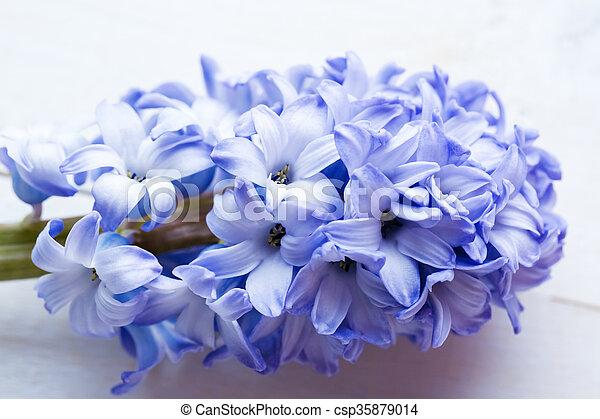 Blaues, hyazinthen, gemalt, licht, text., fokus.,... Stockfotografie ...