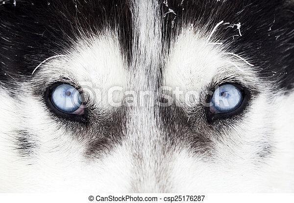 Nahaufnahme von husky dogblauen Augen - csp25176287